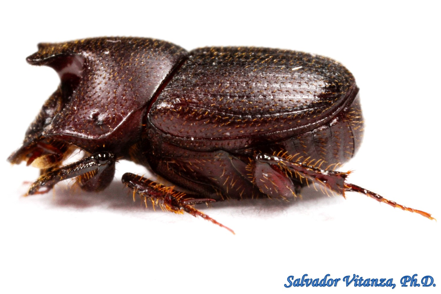 coleoptera scarabaeidae onthophagus browni dung beetles male a